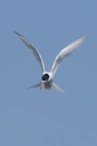 Little Tern preparing to dive