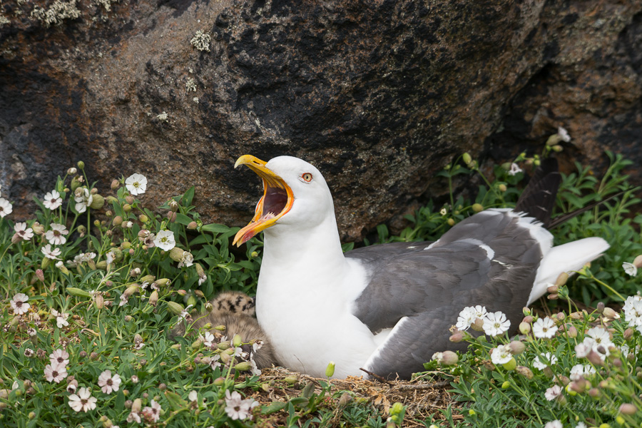 Lesser Black-Backed Gull protecting her nest