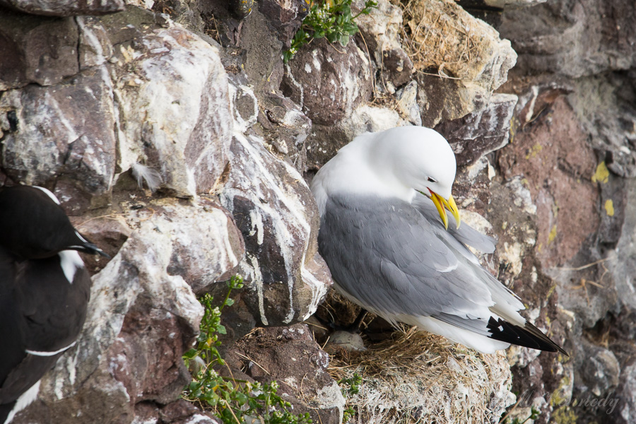 Kittiwake preening on her nest
