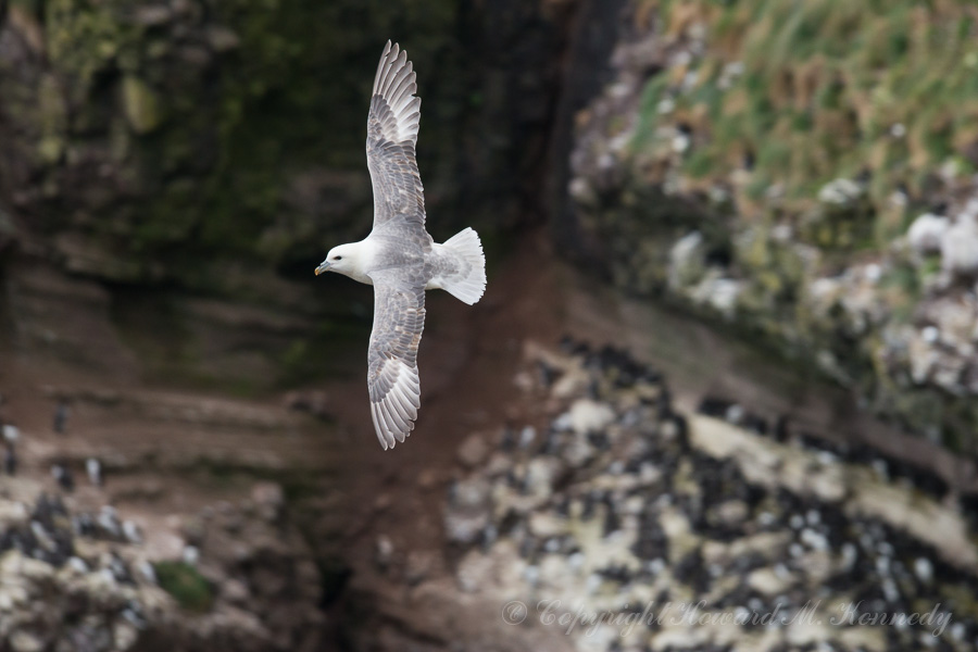 Fulmar flying over the Guillemot colony far below