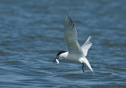 Sandwich Tern with catch